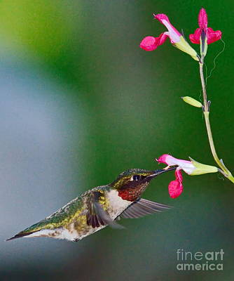 Ruby Red Hummingbird And Flowers Poster by Wayne Nielsen