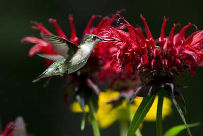 Hummingbird I Poster by Christina Rollo