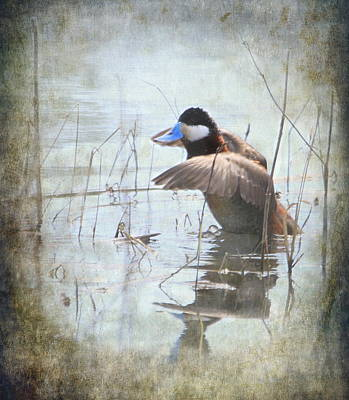 Ruddy Duck Poster by Angie Vogel