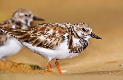 Ruddy Turnstones On A Beach Poster by Bob Gibbons