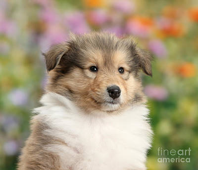 Sable Rough Collie Puppy Poster by Mark Taylor