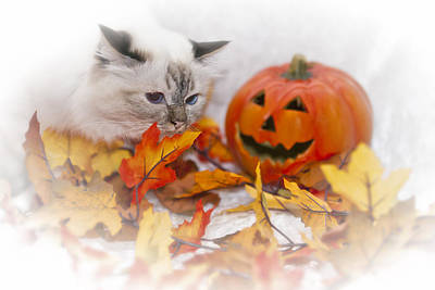 Sacred Cat Of Burma Halloween Poster by Melanie Viola