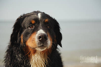Sad Dog Looks At Camera Poster by Aleksey Tugolukov