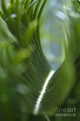 Sago Palm - Cycas Revoluta Poster by Sharon Mau