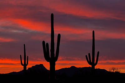 Saguaro Sunset Poster by Guy Schmickle