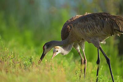 Sandhill Crane Feeding Chick, Grus Poster by Maresa Pryor