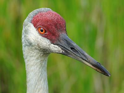 Sandhill Crane Female Close Up Poster by Lynda Dawson-Youngclaus
