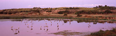 Sandhill Cranes Grus Canadensis Poster by Panoramic Images