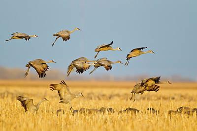 Sandhill Cranes Land In Corn Fields Poster by Chuck Haney