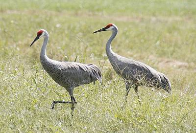 Sandhill Cranes Poster by Lisa Williams
