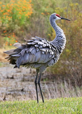 Sandhill Crane's Ruffled Feathers Poster by Carol Groenen