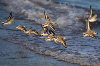 Sandpipers In Flight Poster by Allan Morrison