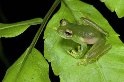 Santa Cecilia Glass Frog (cochranella Poster by Pete Oxford