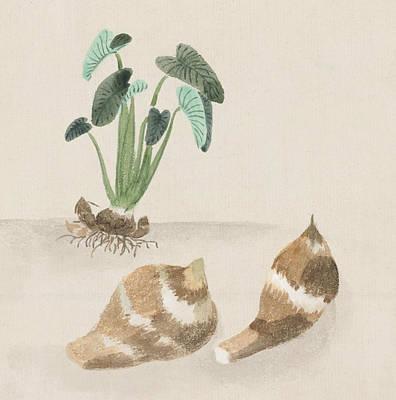 Satoimo Taro Potato  Poster by Aged Pixel