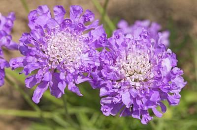 Scabiosa 'butterfly Blue' Flowers Poster by Ann Pickford