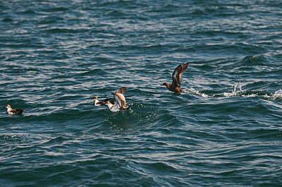 Scooper Seabirds Poster by Tony Ambrosio
