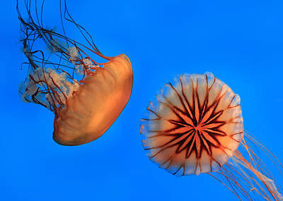 Sea Nettles Poster by Lori Deiter