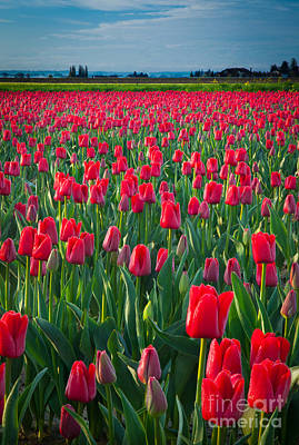 Sea Of Red Tulips Poster by Inge Johnsson