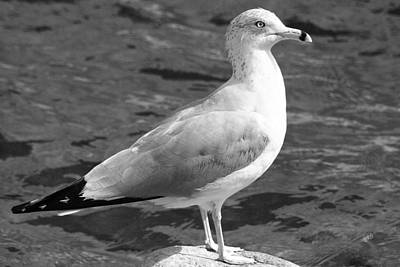 Seagull And Water In Black And White Poster by Ben and Raisa Gertsberg