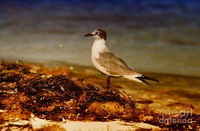 Seagull At The Keys Poster by Deborah Benoit