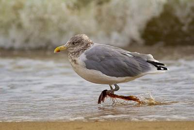 Seagull Walking Poster by Allan Morrison