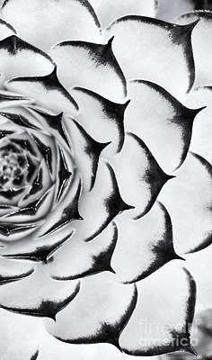 Sempervivum Pattern Monochrome Poster by Tim Gainey
