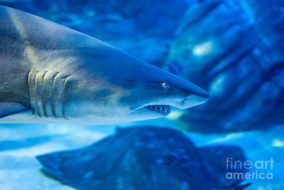 Shark Poster by Ray Warren