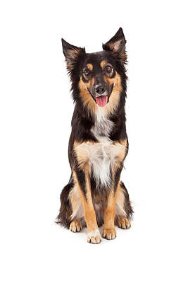 Shepherd And Border Collie Mixed Breed Dog Poster by Susan  Schmitz