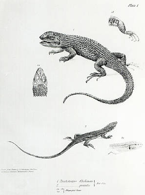 Shingled Iguana Poster by English School