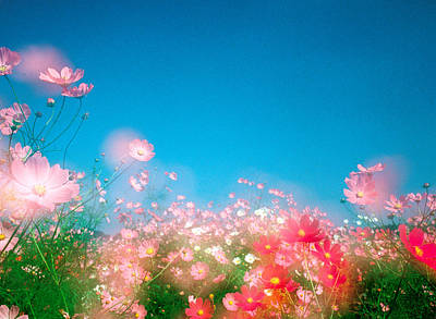 Shiny Pink Flowers In Bloom With Blue Poster by Panoramic Images