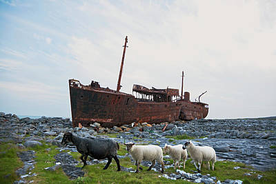 Shipwreck On Shore And Sheep Walking Poster by Carl Bruemmer