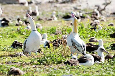 Short-tailed Albatross (phoebastria Poster by Daisy Gilardini