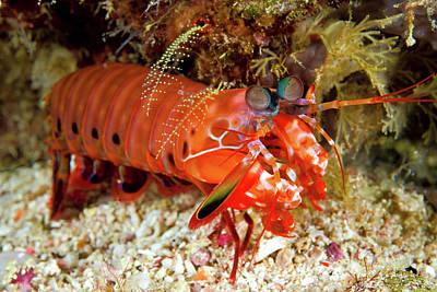 Shrimp On Ocean Floor, Raja Ampat Poster by Jaynes Gallery