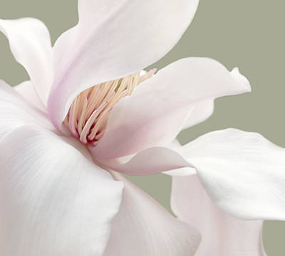 Shy Magnolia Flower Blossom Poster by Jennie Marie Schell
