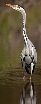 Side Profile Of A Grey Heron Ardea Poster by Panoramic Images