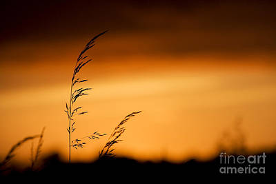 Silhouette Grasses  Poster by Tim Gainey