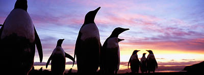 Silhouette Of A Group Of Gentoo Poster by Panoramic Images