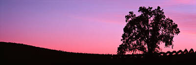 Silhoutte Of Oaktree In Vineyard, Paso Poster by Panoramic Images