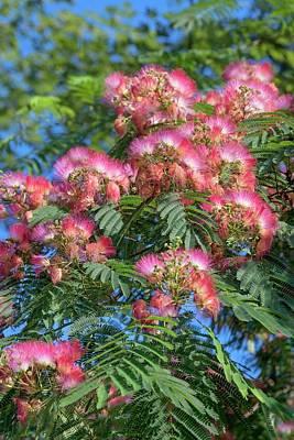 Silktree (albizia Julibrissin) Poster by Dr. Nick Kurzenko
