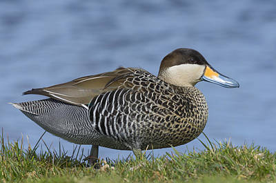 Silver Teal Poster by John Shaw