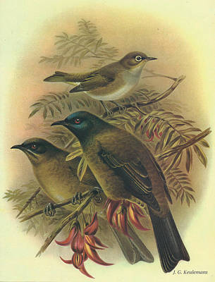 Silvereye And Bellbird Poster by J G Keulemans