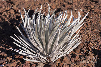 Silversword Leaves Poster by Bob Phillips