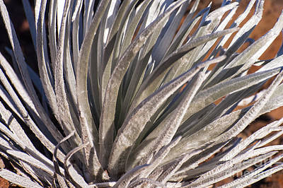 Silversword Detail Poster by Bob Phillips