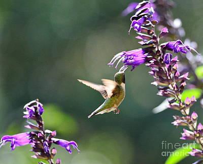 Single Hummingbird Gazes At Double Blooms Poster by Wayne Nielsen