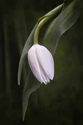Single Tulip Still Life Poster by Tom Mc Nemar