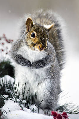 Squirrel In Snow Poster by Christina Rollo