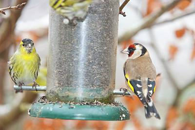 Siskins And Goldfinch On Feeder Poster by Ashley Cooper