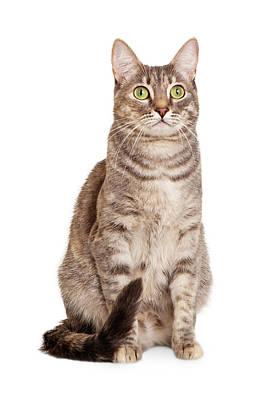 Sitting Gray Tabby Cat Poster by Susan  Schmitz