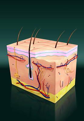 Skin Anatomy Poster by Harvinder Singh
