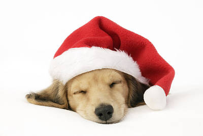 Sleeping Santa Puppy Poster by Greg Cuddiford